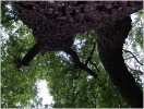 Dub letní v Ujkovicích