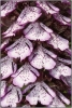 012AcddO.purpurea
